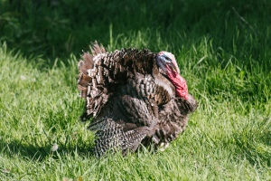 Photo of one of our turkeys taken by D. Craig, BC Min. of Agriculture