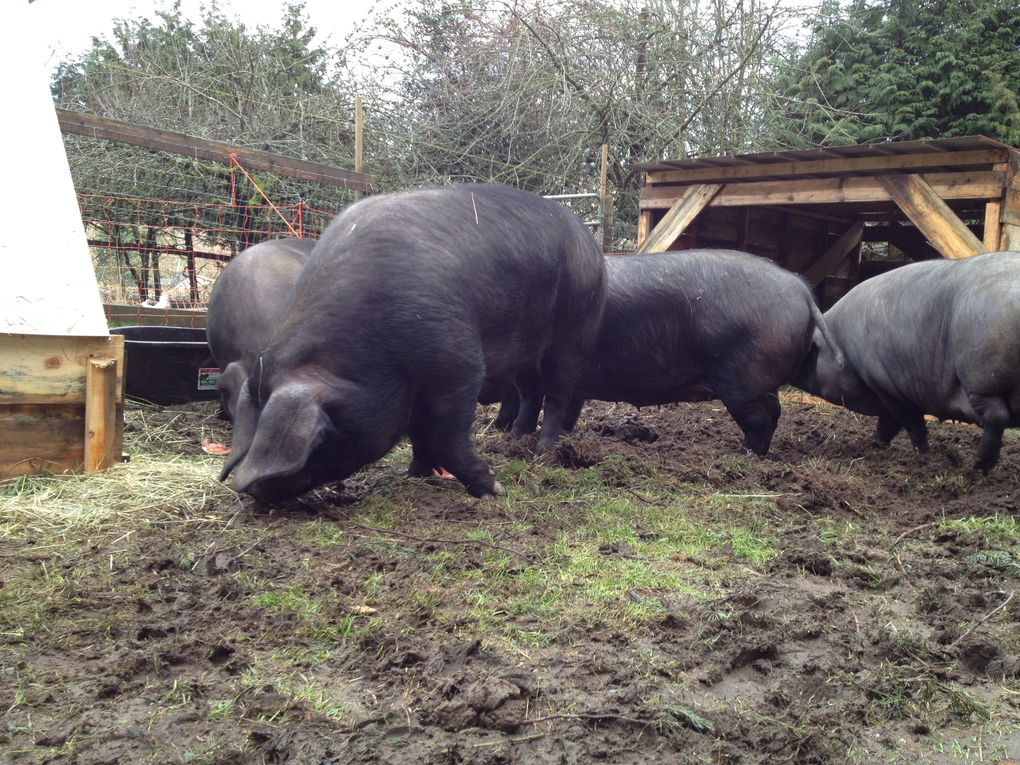Large Black Hogs at Dark Creek Farm