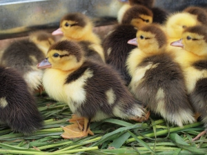 Can't beat ducklings when it comes to cuteness...