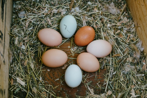 Looking for farm fresh eggs? Turns out we have some... If you are in the Greater Victoria area send me a message on Facebook (Alderley Grange) and we can coordinate a pick-up...
