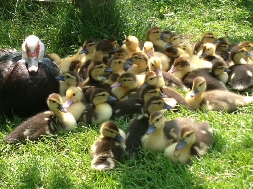 Last year's crop of Muscovy ducklings.