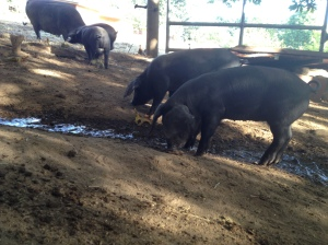 Large Black Hog piglets