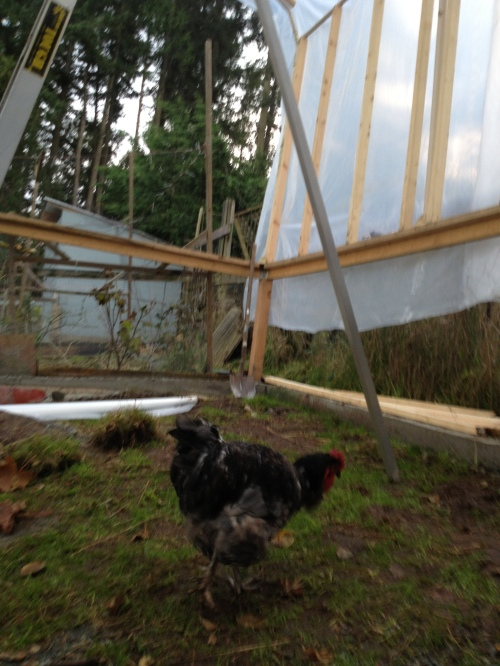 Wimpy struts in to check out our progress.
