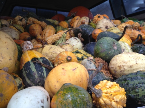 The pickup was FULL! There was an avalanche of gourds when I opened the tailgate and I had to dance out of the way to avoid being squashed by tumbling pumpkins.