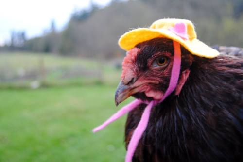 I must say the Maypenny hens are a stylish bunch! They look a whole lot better prepared for the soggy weather than my girls...