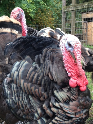 Ridley Bonze turkeys - just like the old-fashioned turkeys your grandmother used to cook