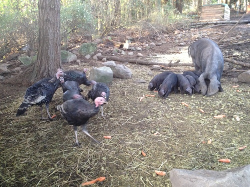 The turkeys are totally in synch with the hog feeding schedule.