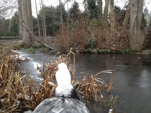 A duck's eye view of a pond freezing over...