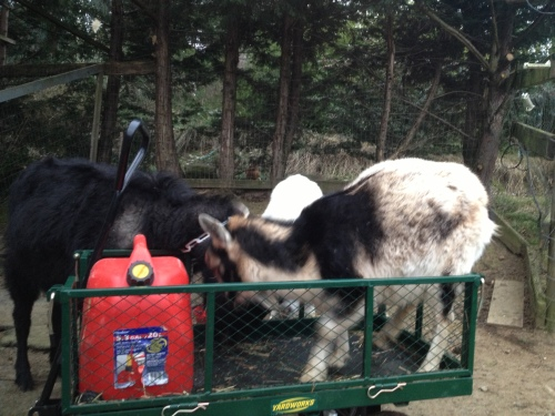 The goats swarming the cart in search of spilled treats...
