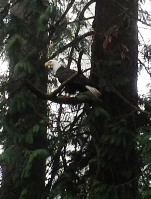 Bald eagle making dastardly plans...