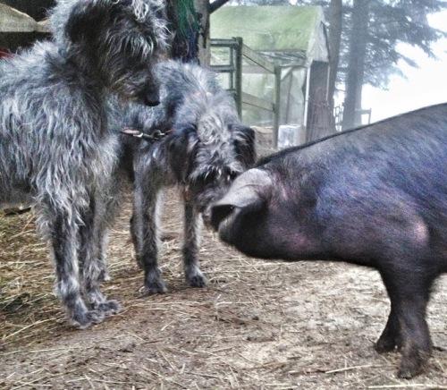 Pippi, Tuulen, and the adventurous piglet, bonding