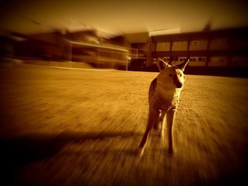 Shoreline Coyote