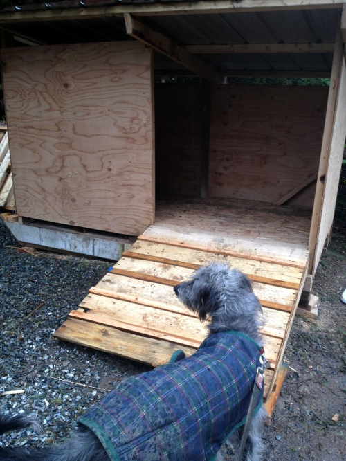 Tuulen checking out the ramp into the new hog hut...