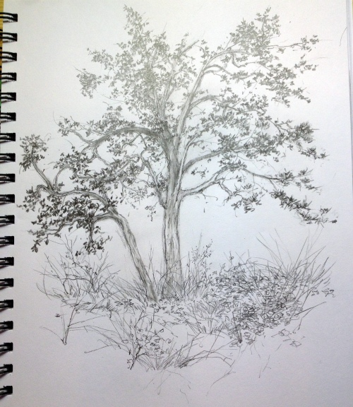 Garry Oak Trees by E. Colin Williams (drawing)