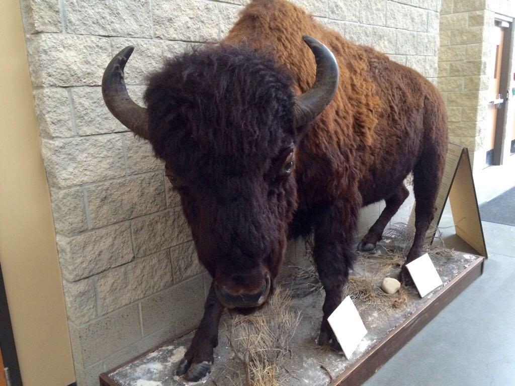 Canore buffalo 30969113_10160276112100364_1661460638_o