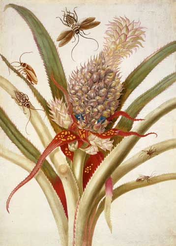 Maria Sibylla Merian pineapple-and-cockroaches-1705