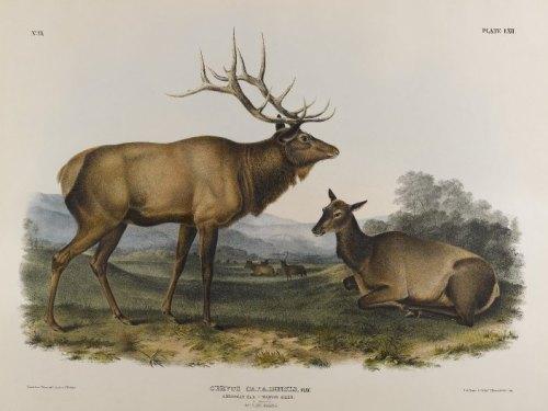 american-elk-1845 John James Audobon