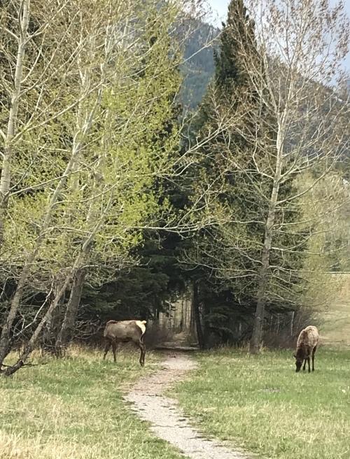 Canmore Elk IMG_3080.jpg