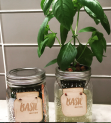 Basil in Jars
